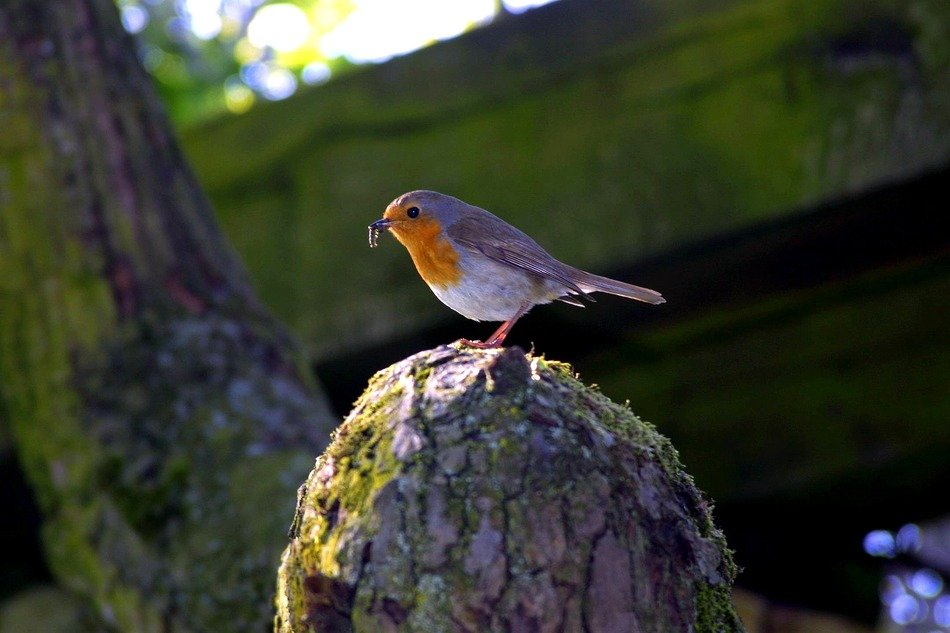 pretty Robin Bird