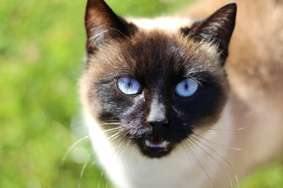 siamese Cat Head with blue Eyes, close up
