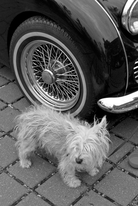 Guard dog is near the vintage car