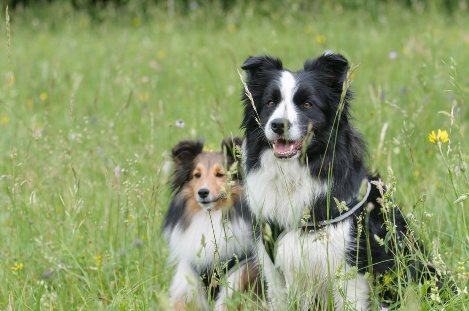 two collies on the meadow