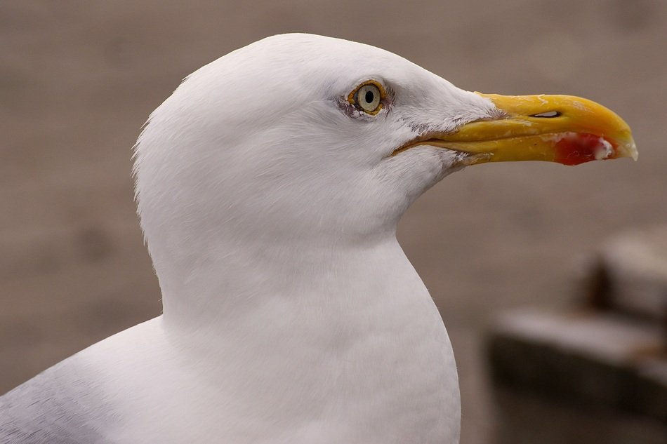 photo portrait of seagull white profile