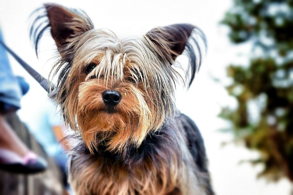 portrait of a yorkshire terrier on a blurred background