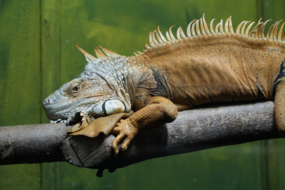 large iguana on the tree branch