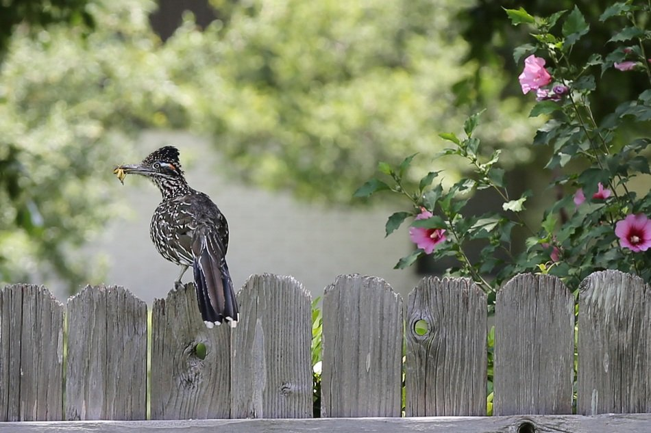 Roadrunner Bird with grasshopper on fence