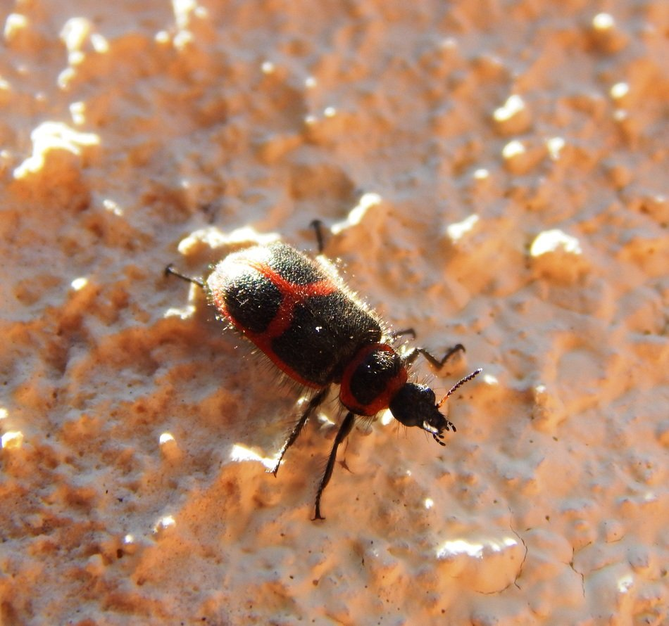 Beetle Insect with red wings