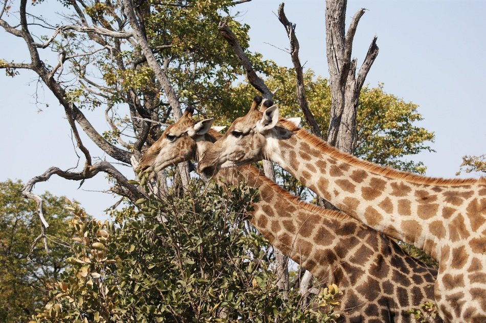 two Giraffes in Savannah, botswana