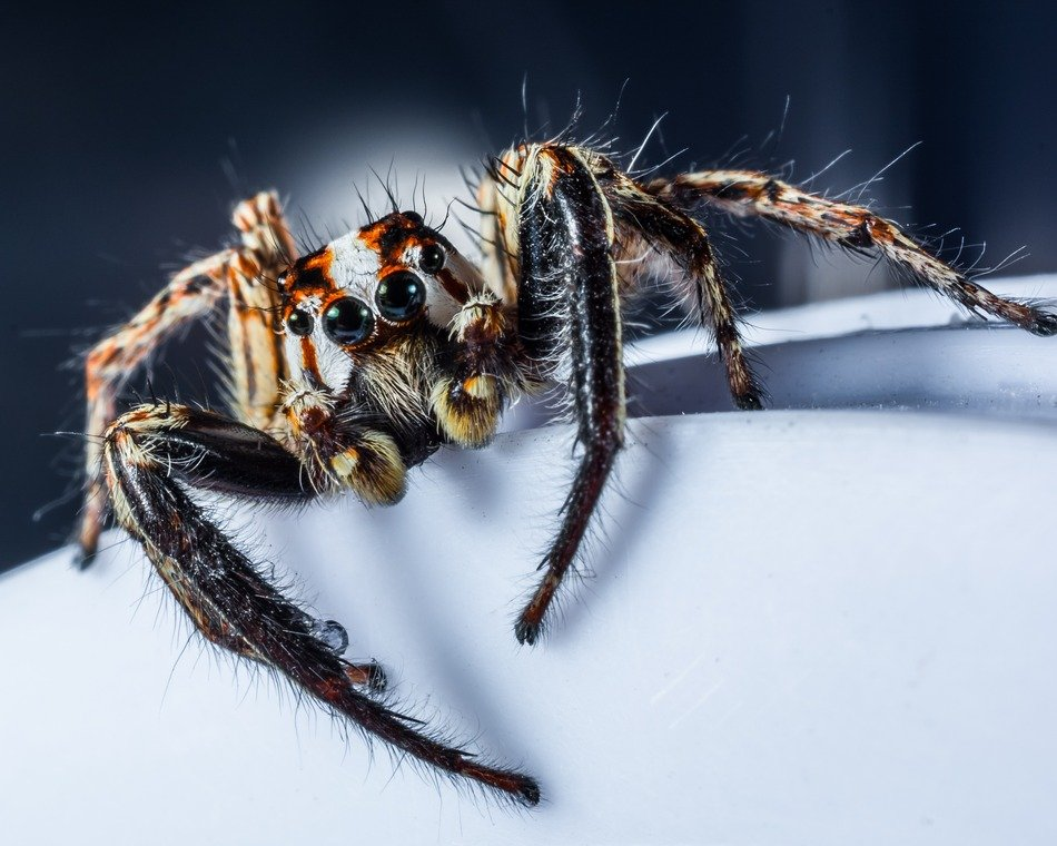 jumping spider on a white surface