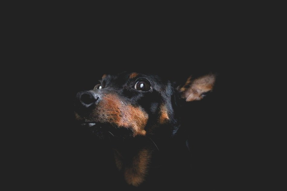 portrait of a dog on the black background
