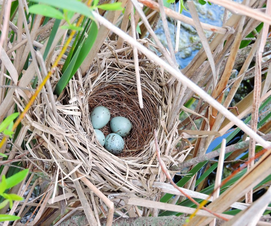 Picture of Red-Winged Black Bird's nest