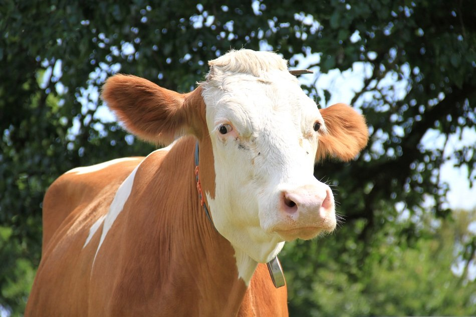 brown cow with white head on a farm
