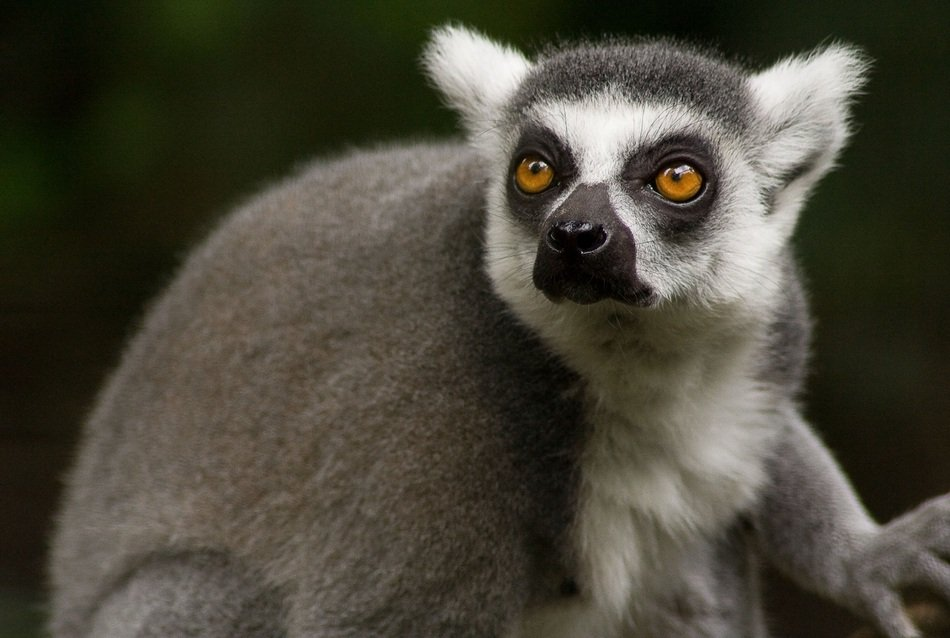poartrait of a ring tailed lemur