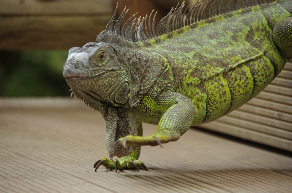 green iguana at mariposario de benalmadena