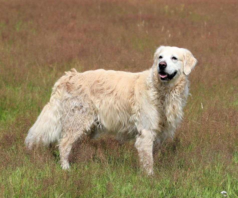 golden retriever on the spring meadow