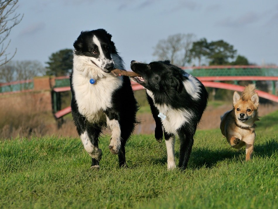 border collies are playing in nature