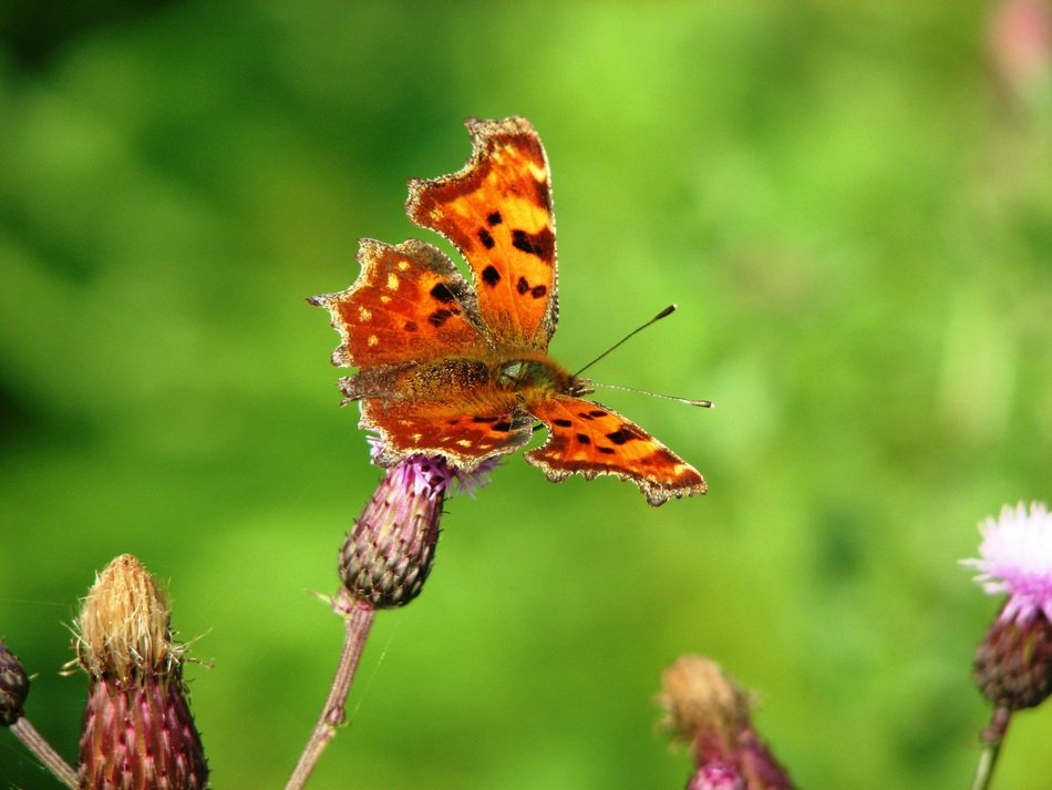 orange butterfly on a flower on a blurry green background