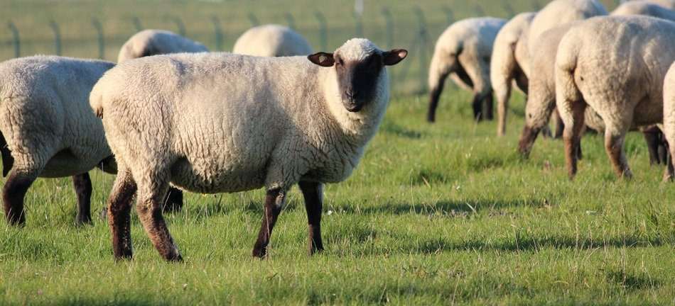 purebred sheep on green grass