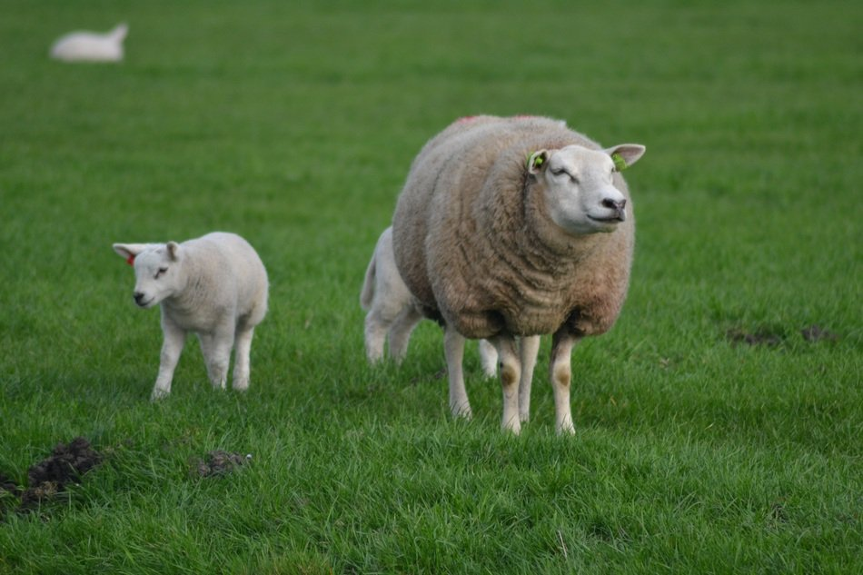 a sheep with cubs walks in a green meadow