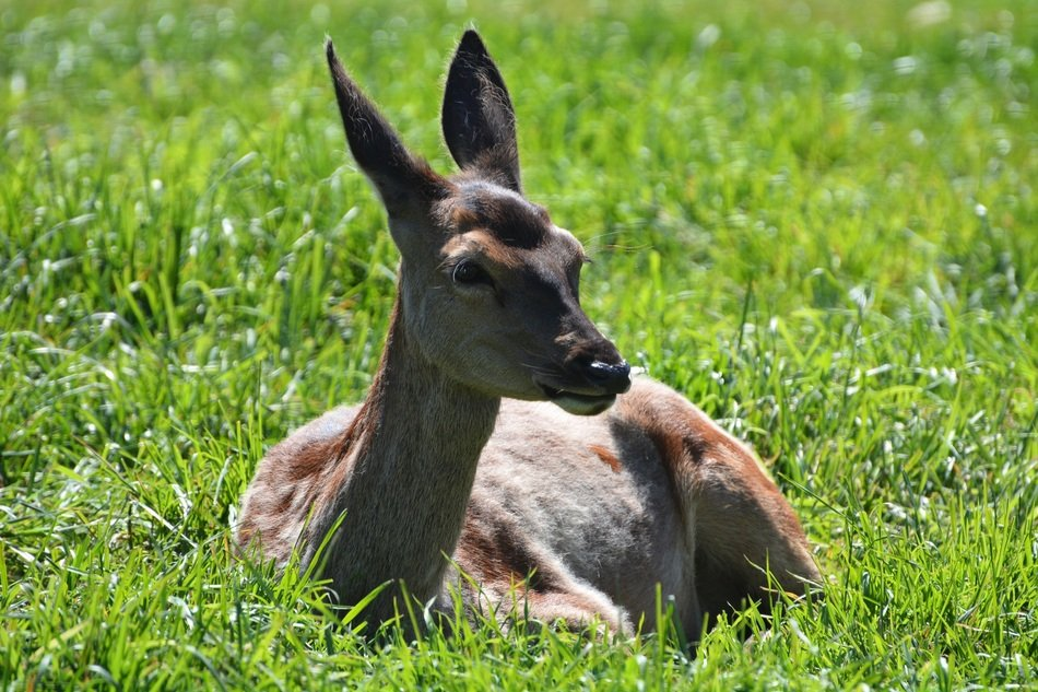 Roe Deer resting in the grass