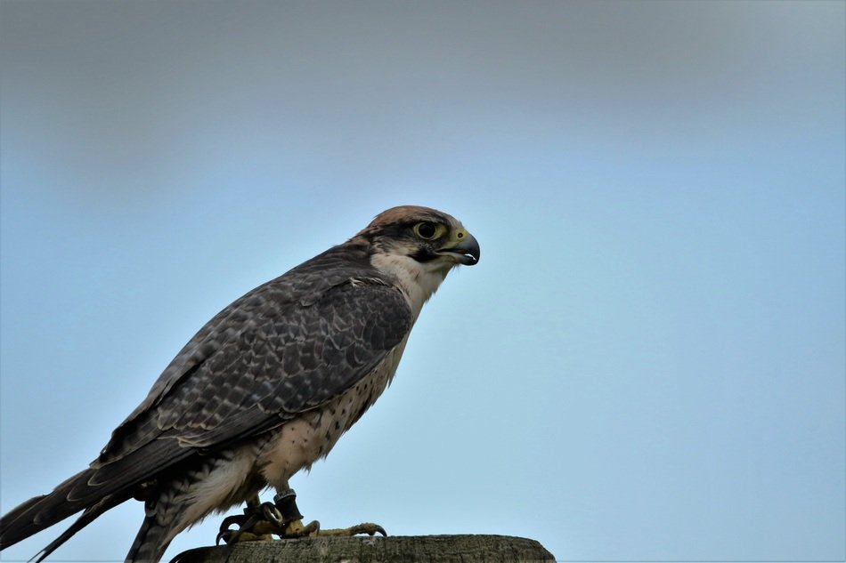 perched lanner falcon