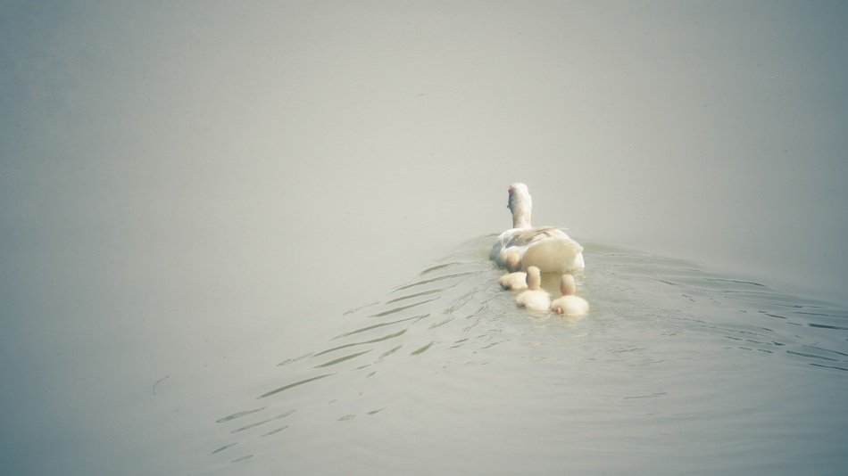 white duck with ducklings on the water