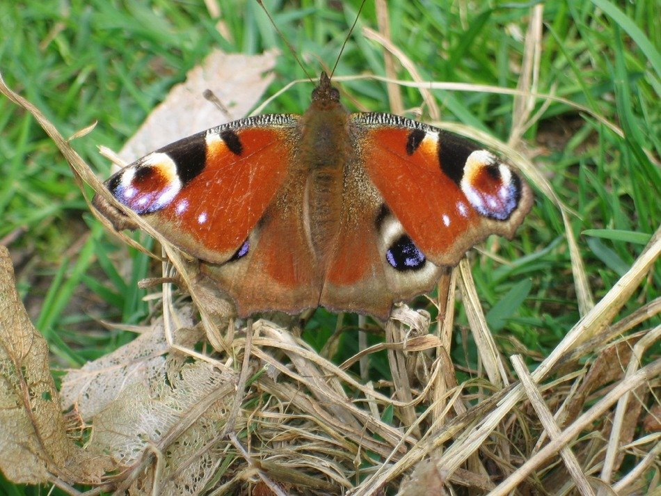 peacock butterfly on dry grass