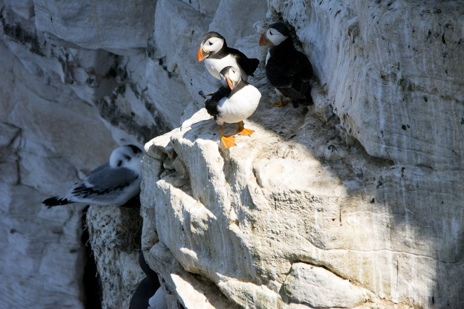 Puffins in the wildlife