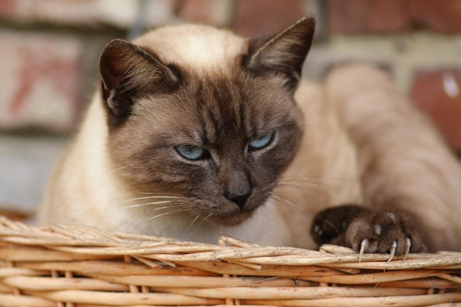 Siamese Cat in a basket