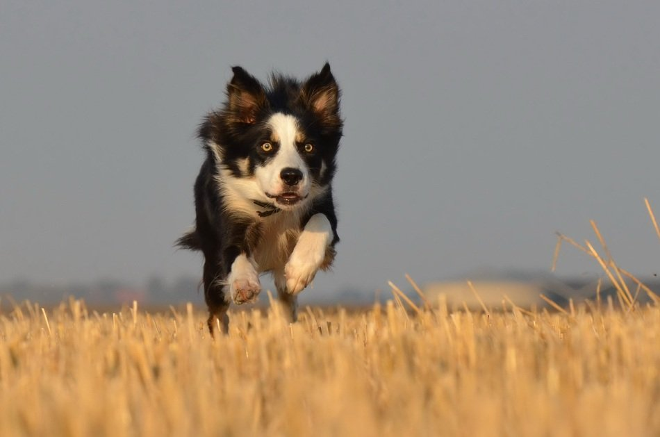 border collie running on the summer field
