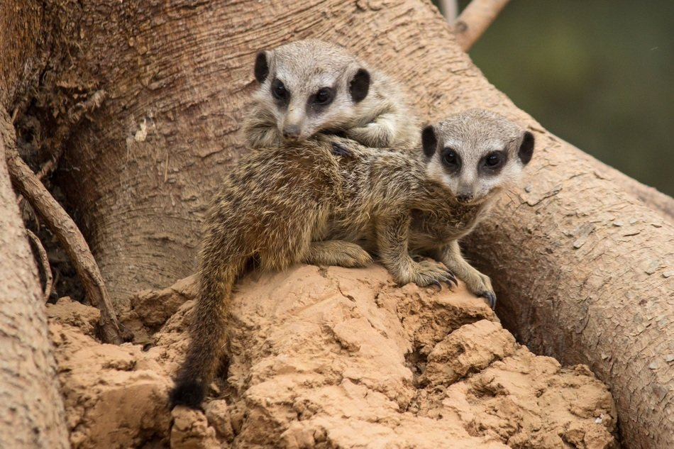brother and sister meerkats are sitting on a stone