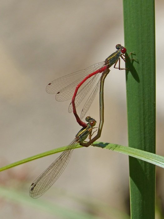 unmatched Dragonflies Couple
