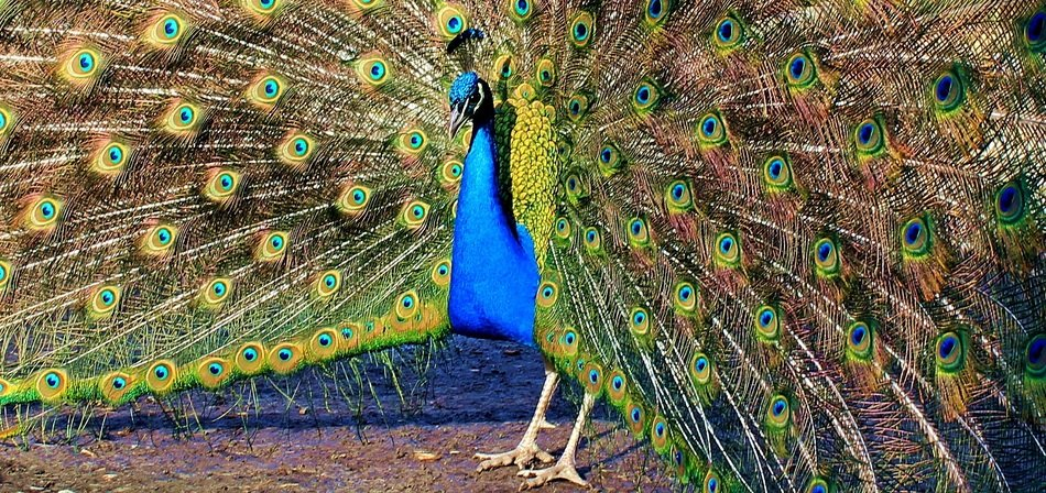 Peacock with a luxurious tail