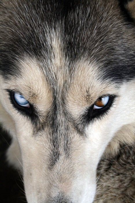 different eyes husky