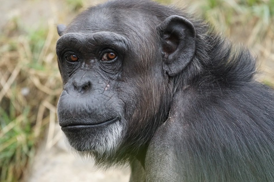 Chimpanzee is a dangerous mammal