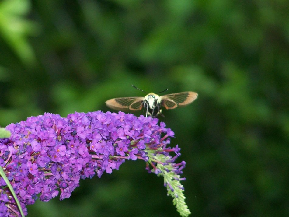 Hummingbird hawk Moth at flower