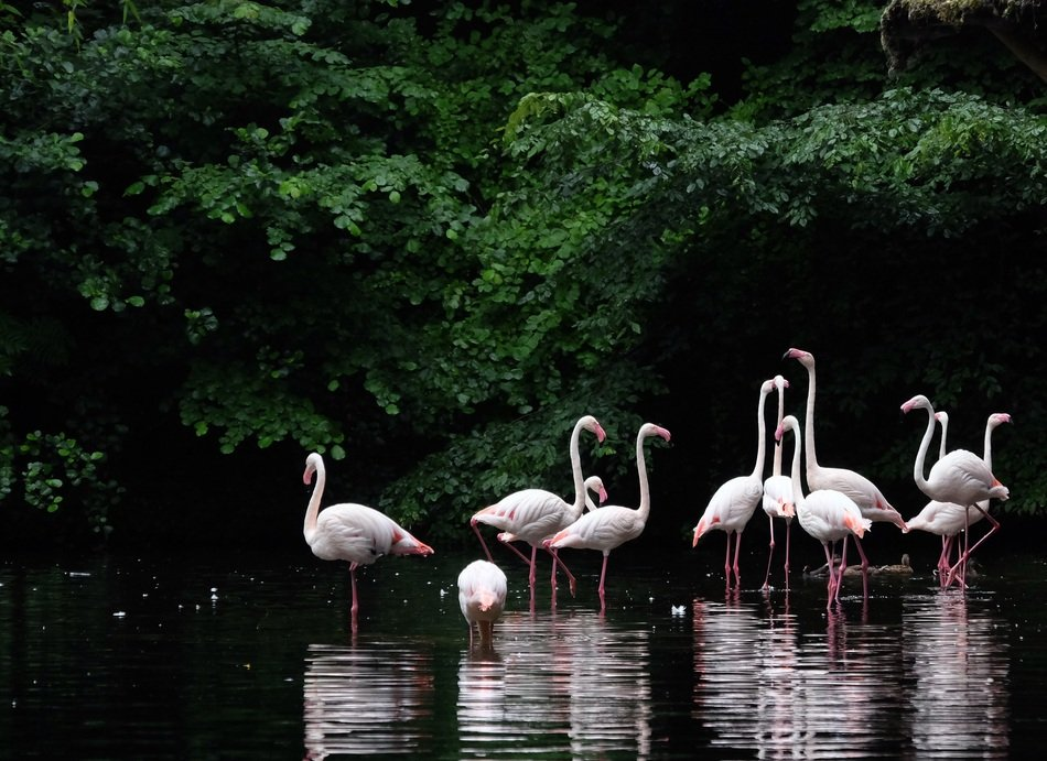 pink flamingos on the water