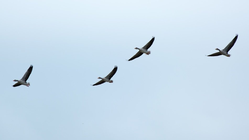 Migratory wild geese formation