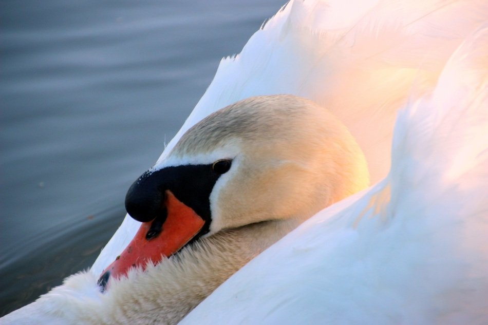 mute swan on the lake at sunset