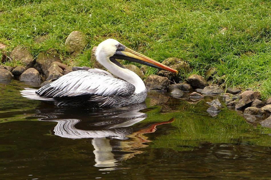 white wild pelican with a big yellow beak in the water