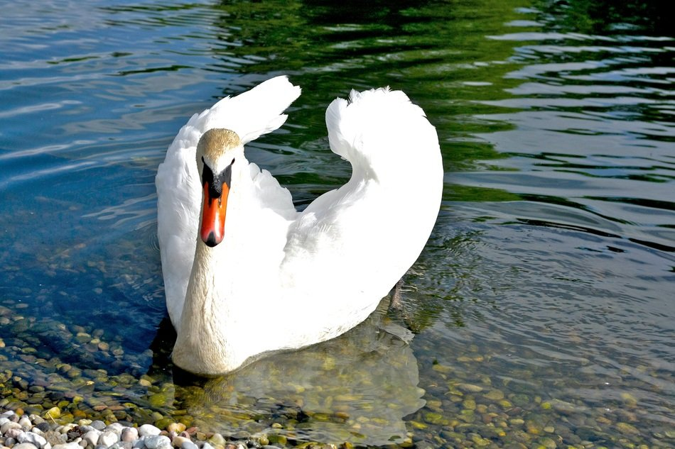 beautiful noble white swan in clear water