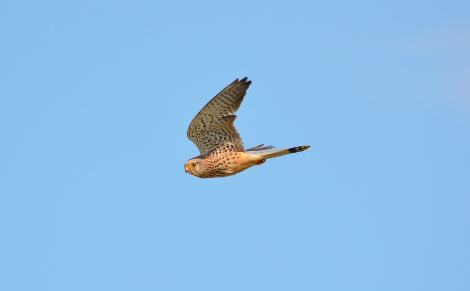 kestrel high in the sky