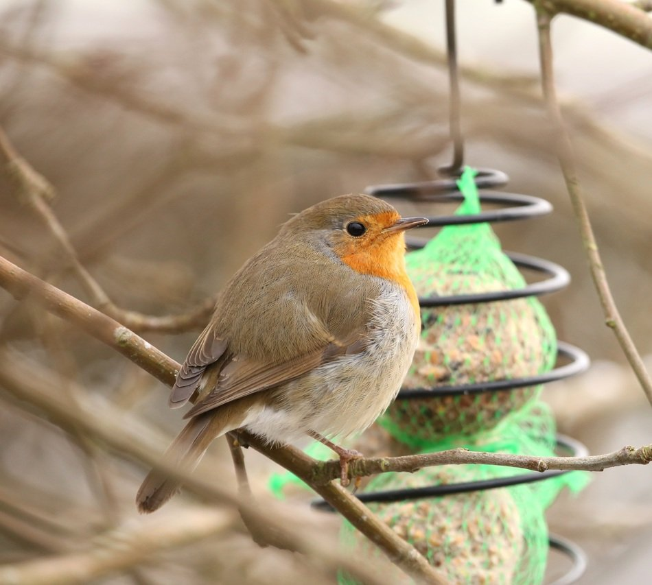 robin at feeding place