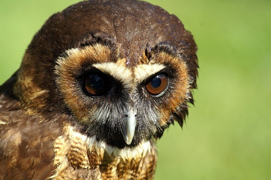 bird of prey with brown eyes