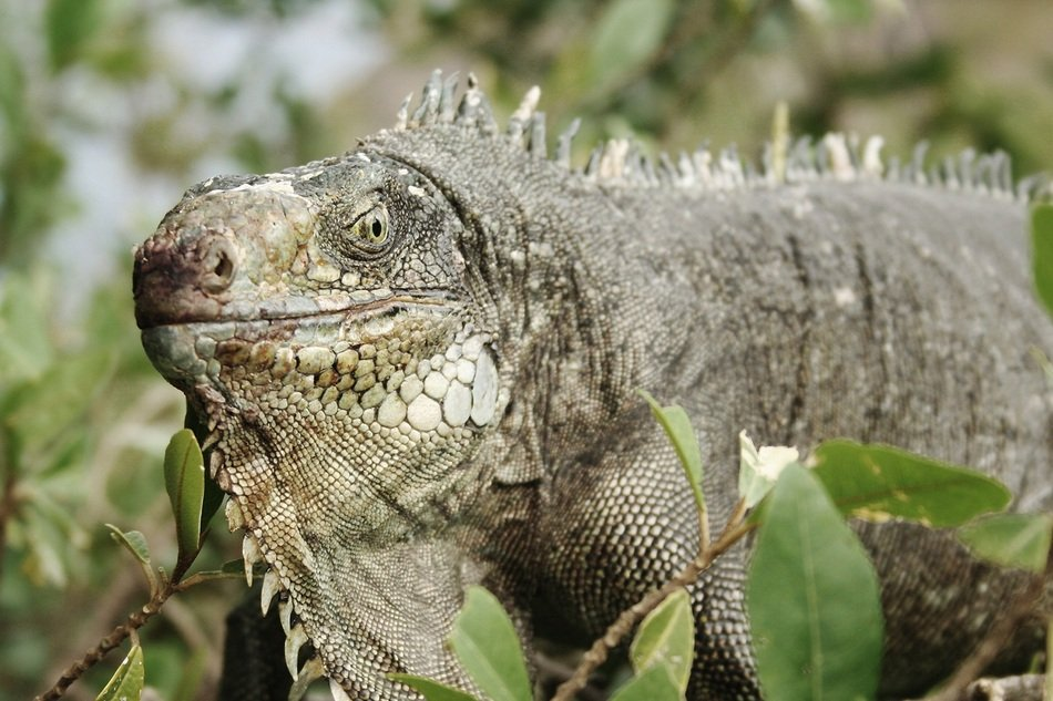 Iguana Animal smiling portrait