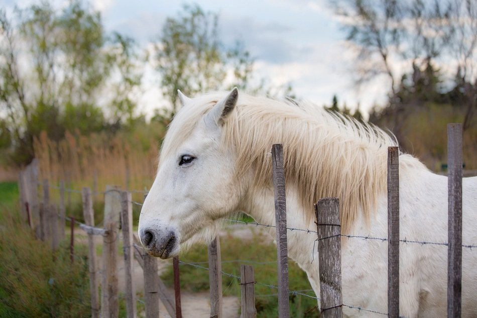 white horse behind the fence