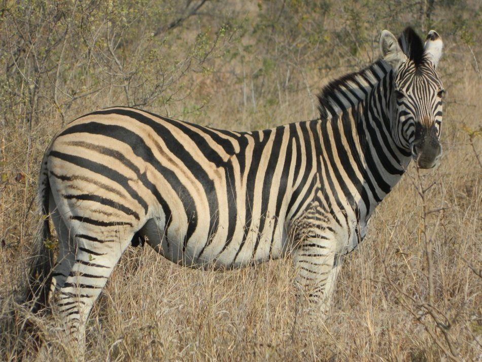 striped zebra on the background of dry grass