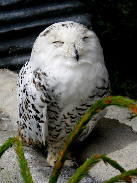 snow owl is sitting on a stone