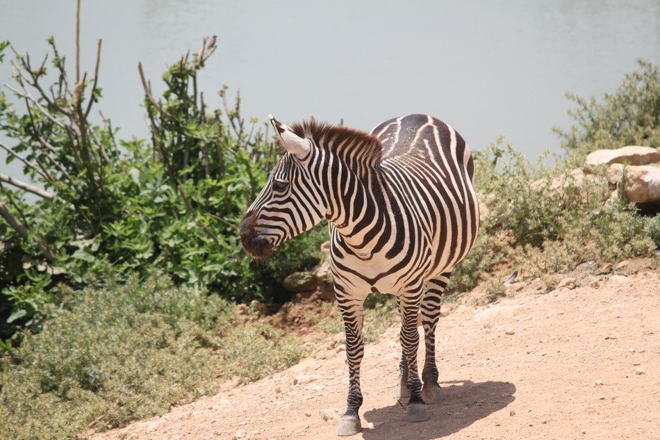 zebra in safari in africa