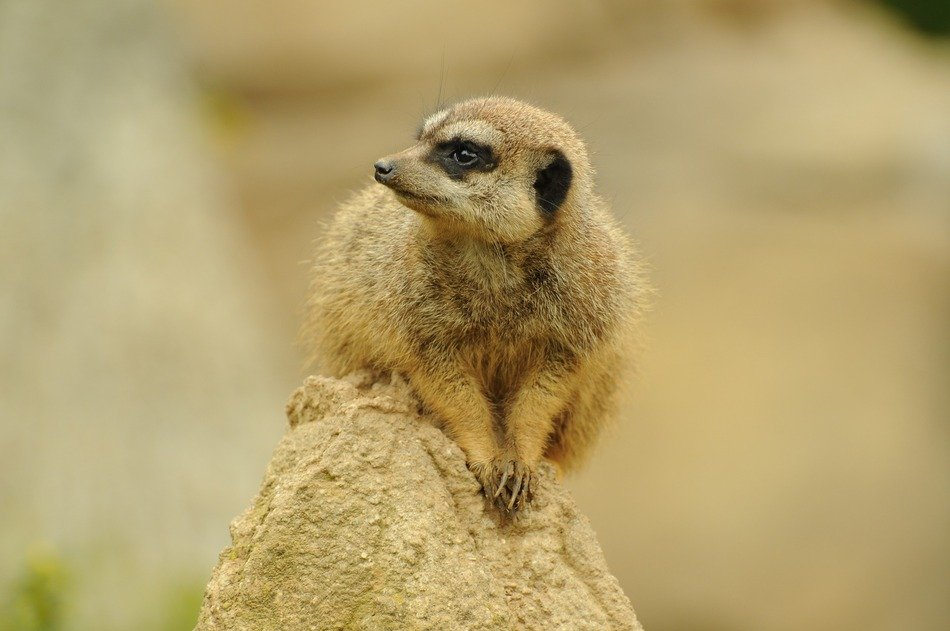 meerkat on a sandy hill