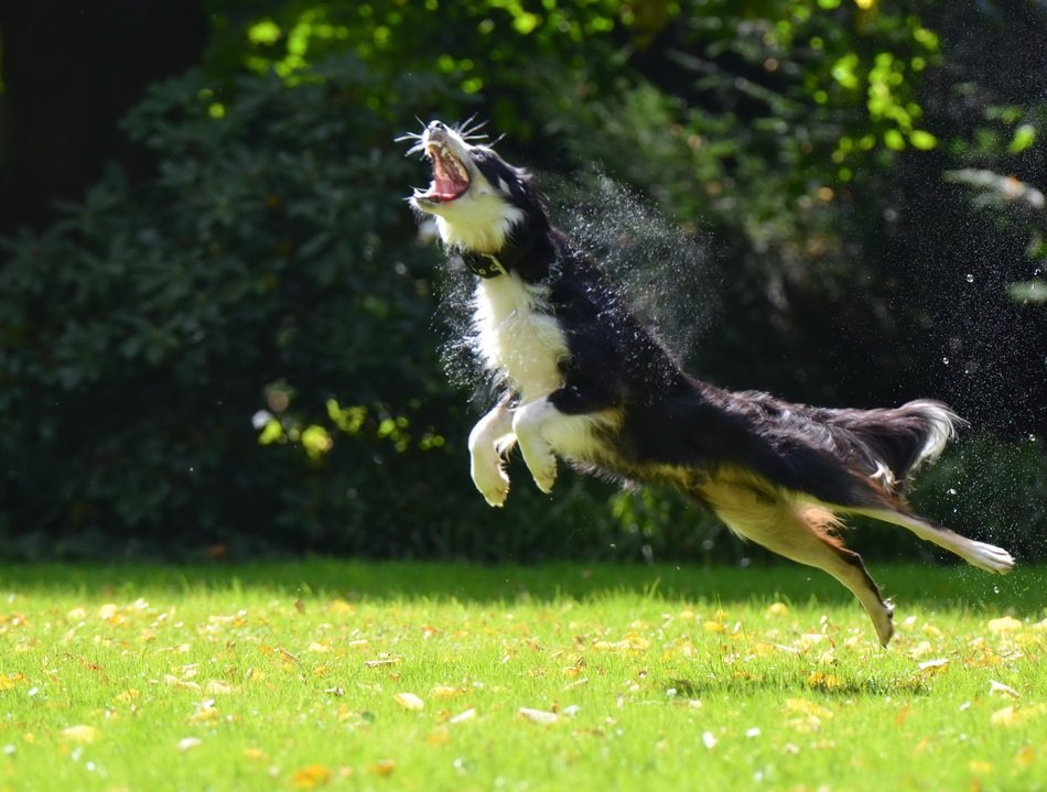 funny collie dog hunting soap bubbles