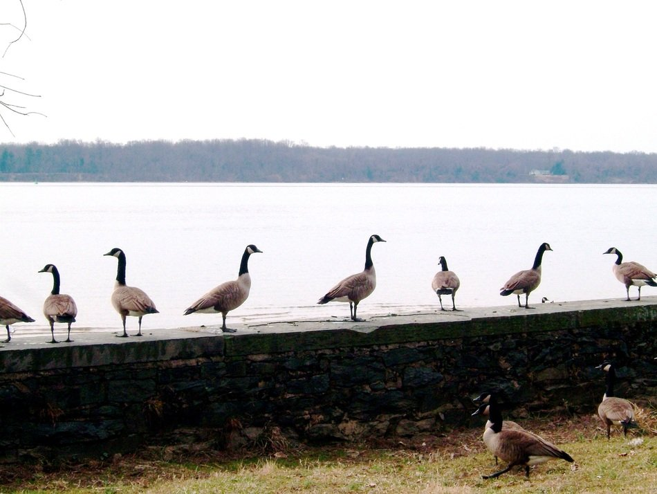 Canada Geese flock on stone fence at water